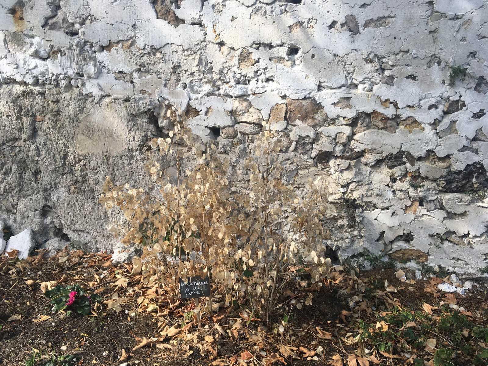 """un mur agricole avec un buisson """"monnaie de pape"""" Murs à pêches Montreuil"""
