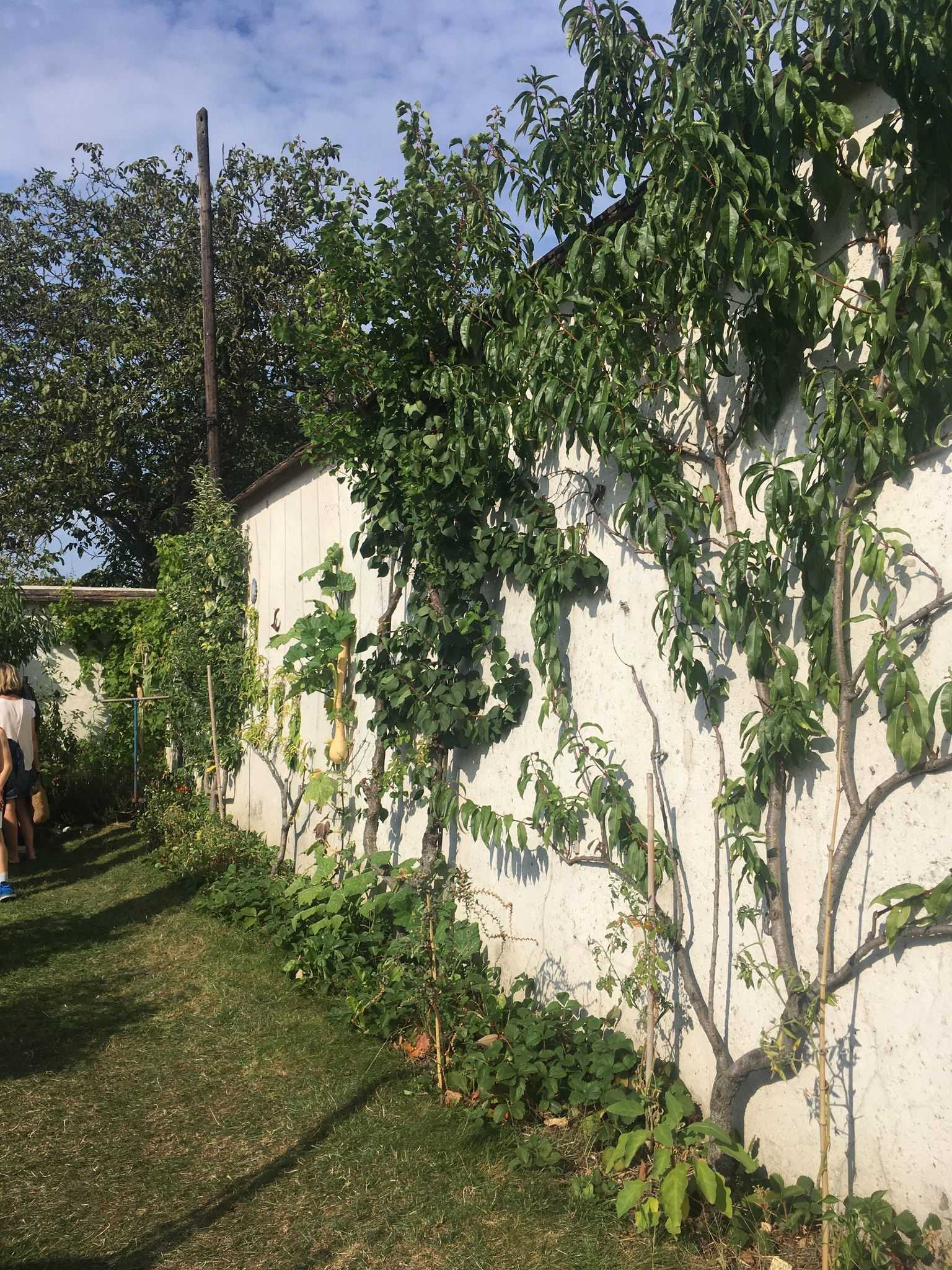Arbres fruitiers le long d'un mur, Murs à Pêches, Montreuil.